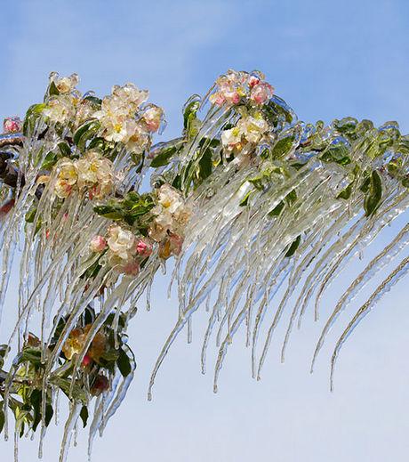 des-stalactites-sur-un-pommier-en-fleur_68257_w460