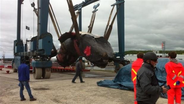 150626_ui6rn_carcasse-baleine-noire_sn635