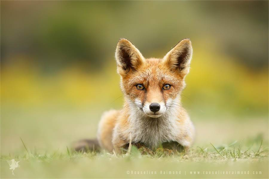 wildlifefoxes10-900x600
