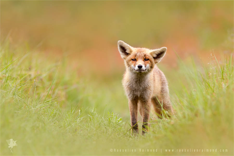 wildlifefoxes3-900x600