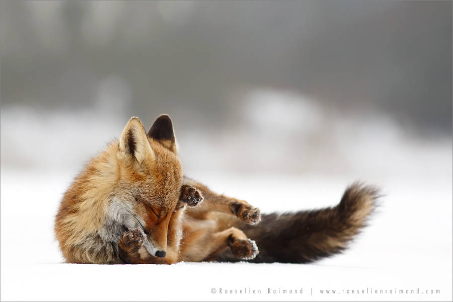 wildlifefoxes8-900x600