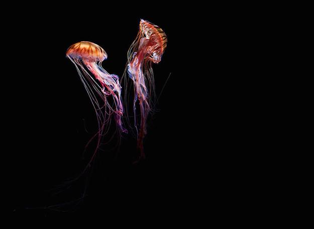 jellyfish-7-900x656