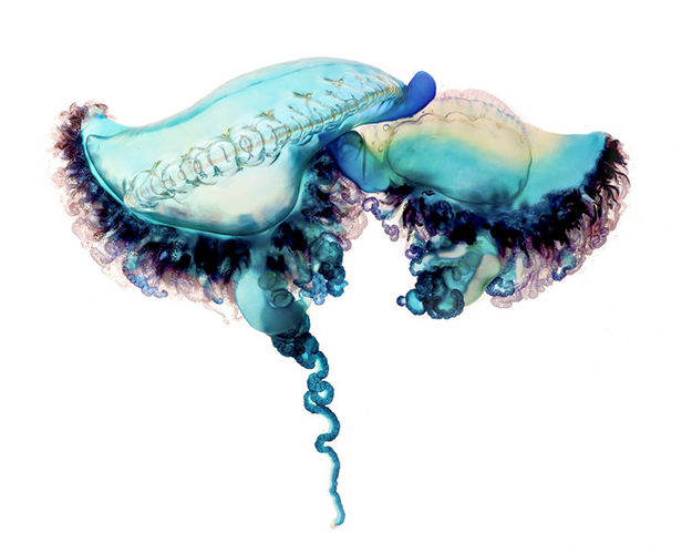 manofwarjellyfish2-900x720