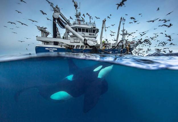 de-magnifiques-photos-de-baleines-et-d-orques-par-audun-rikardsen-1