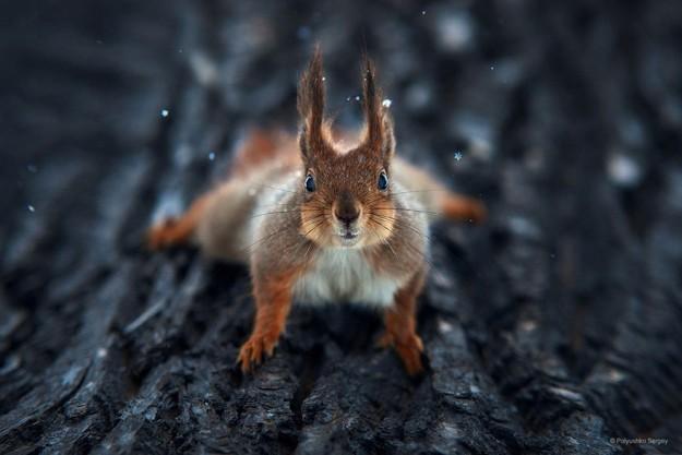 de-superbes-portraits-d-animaux-par-sergey-polyushko-17-ecureuil
