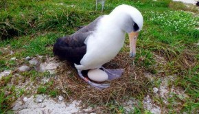 worlds-oldest-breeding-albatross