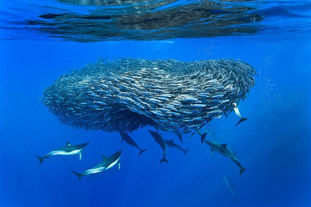 04-Common-dolphin-and-fish