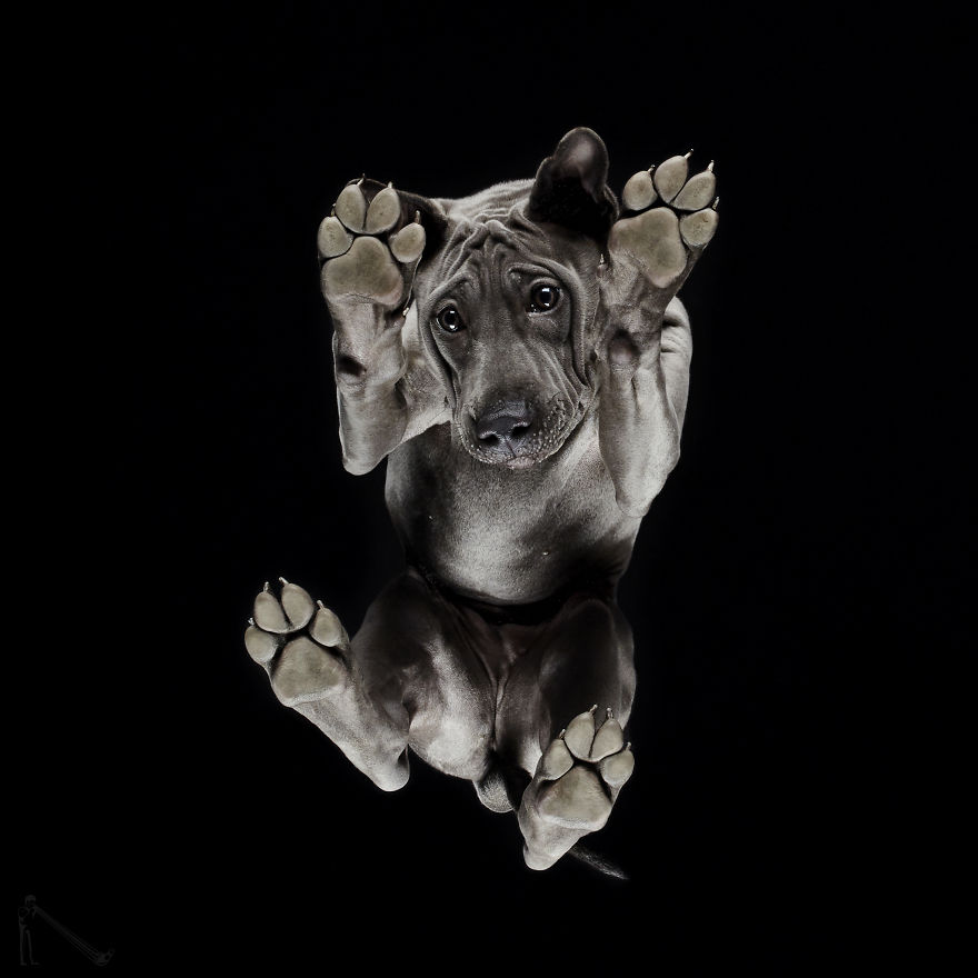 Under-dogs-des-photos-de-chiens-par-dessous-par-Andrius-Burba-1