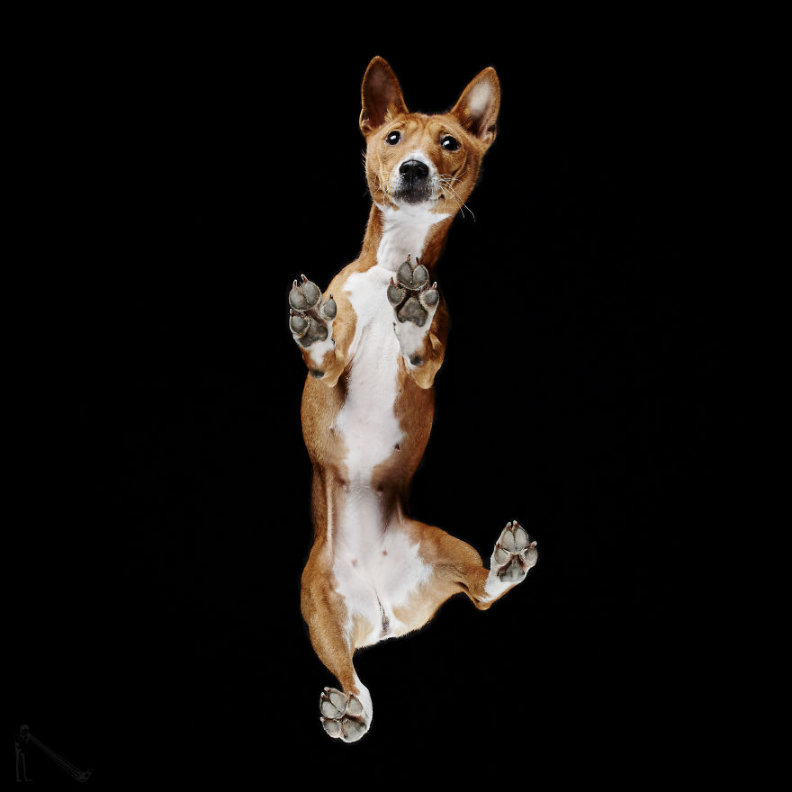 Under-dogs-des-photos-de-chiens-par-dessous-par-Andrius-Burba-12