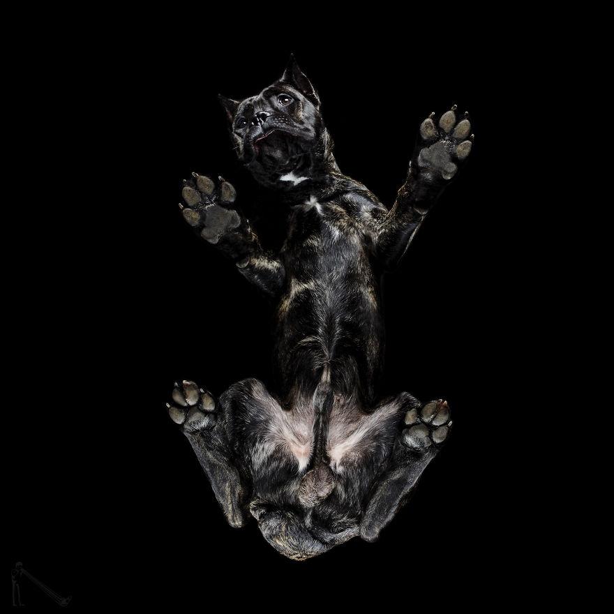 Under-dogs-des-photos-de-chiens-par-dessous-par-Andrius-Burba-19