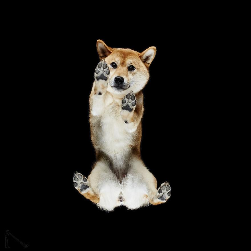 Under-dogs-des-photos-de-chiens-par-dessous-par-Andrius-Burba-3