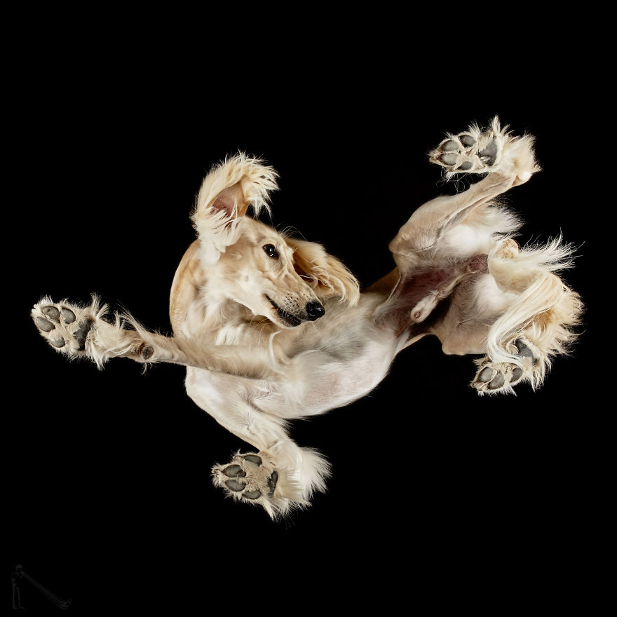 Under-dogs-des-photos-de-chiens-par-dessous-par-Andrius-Burba-8