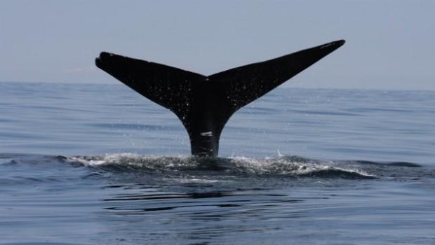 baleine-noire-queue