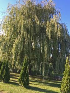 arbre à ombre