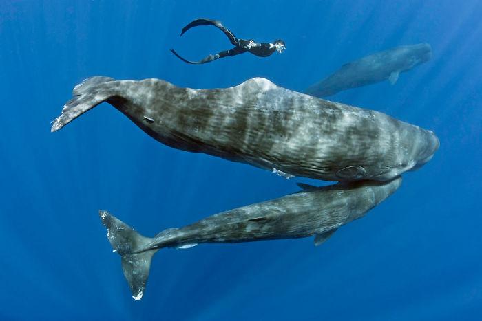 sperm-whales-sleep-franco-banfi-3-59689321047ea__700