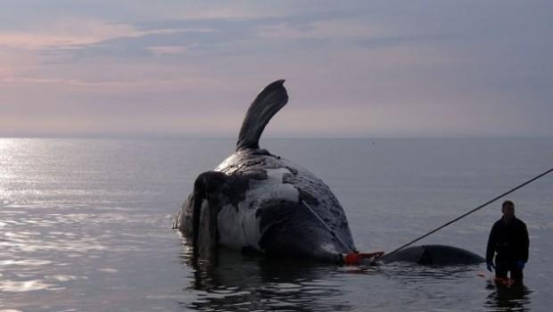 baleines-noires-mortes
