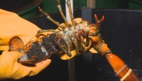 homard-femelle-oeufs-station-biologique-saint-andrews