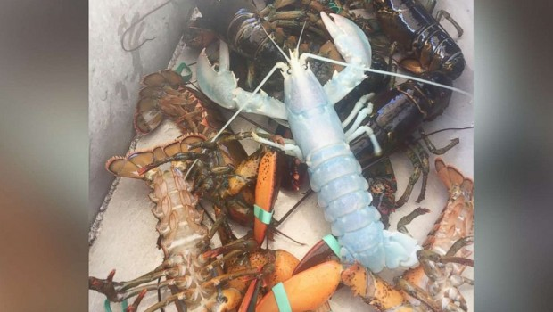 white-lobster-ht-03-jpo-170901_4x3_992