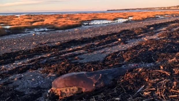 beluga-carcasse