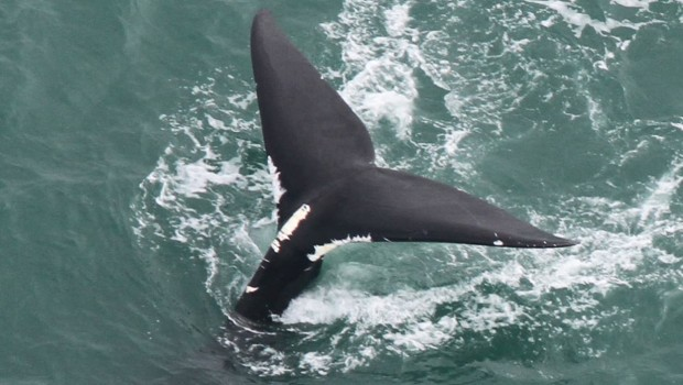 baleine-noire-atlantique-nord-2