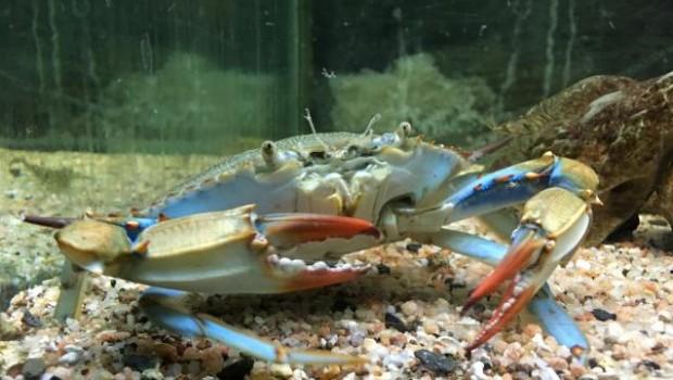 granville-apres-le-homard-bleu-le-crabe-bleu-l-aquarium