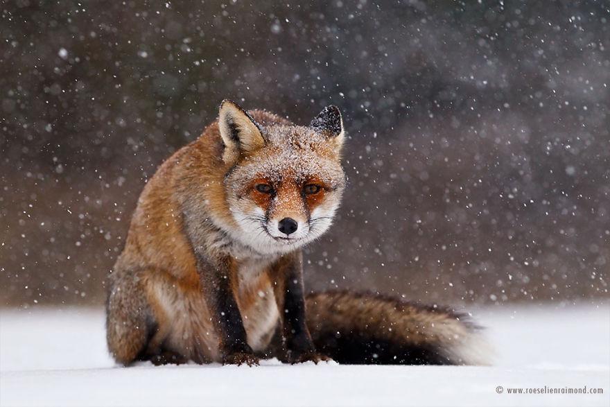 09I2775_red_fox_snowing-5a3271b45c97f__880