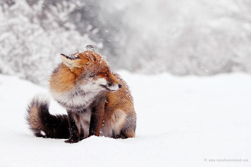 MG_1595_fox_snow-5a3271b66ec1b__880