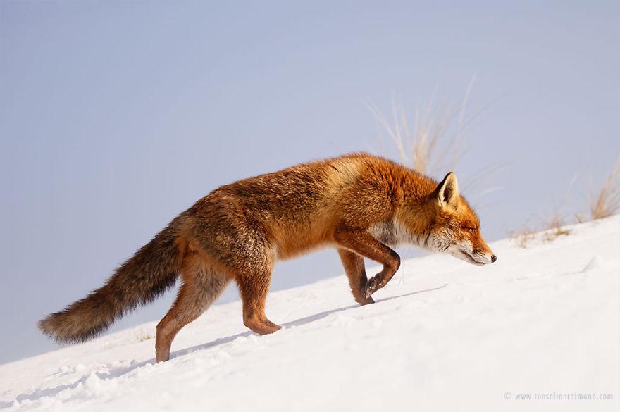 X1B0295_red_fox_snow-5a3271ba49c45__880