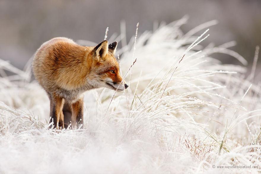 X1B0919_red_fox_rime-5a3271bc0ebb2__880