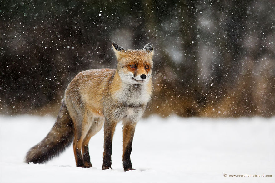 X1B5112_red_fox_blizzard-5a3271be1e405__880