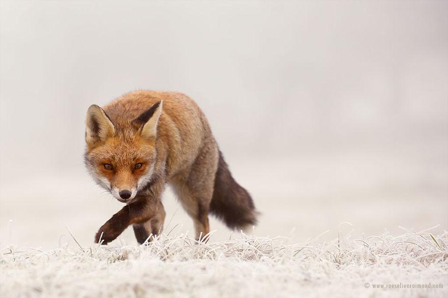X1B6045_fox_snow-5a3271bfc1aeb__880