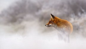 X1B6223_red_fox_winter-5a3271c164222__880