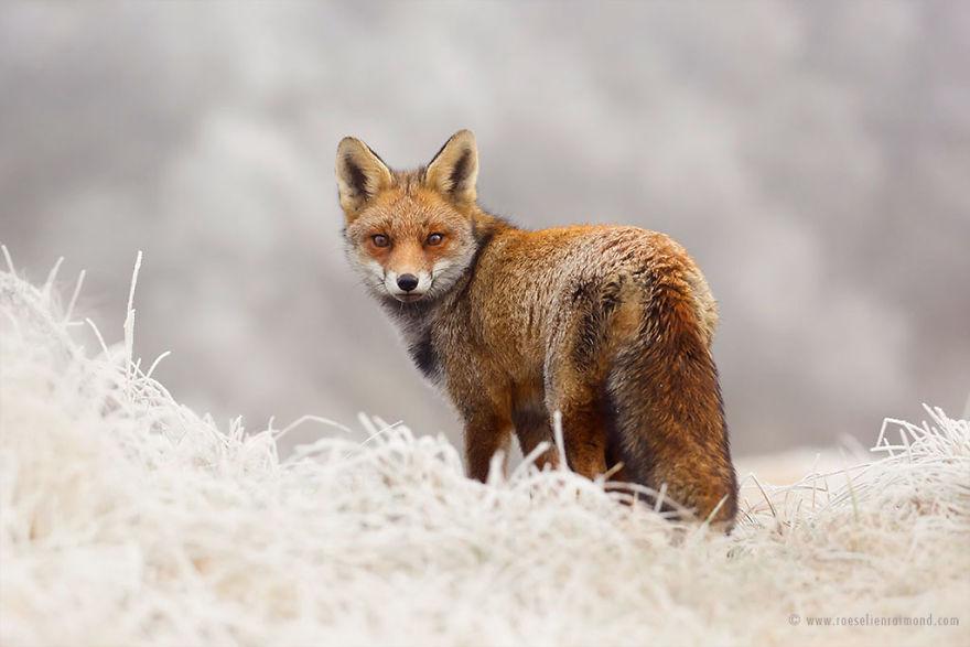 X1B6452red_fox_frost-5a3271c2edc16__880