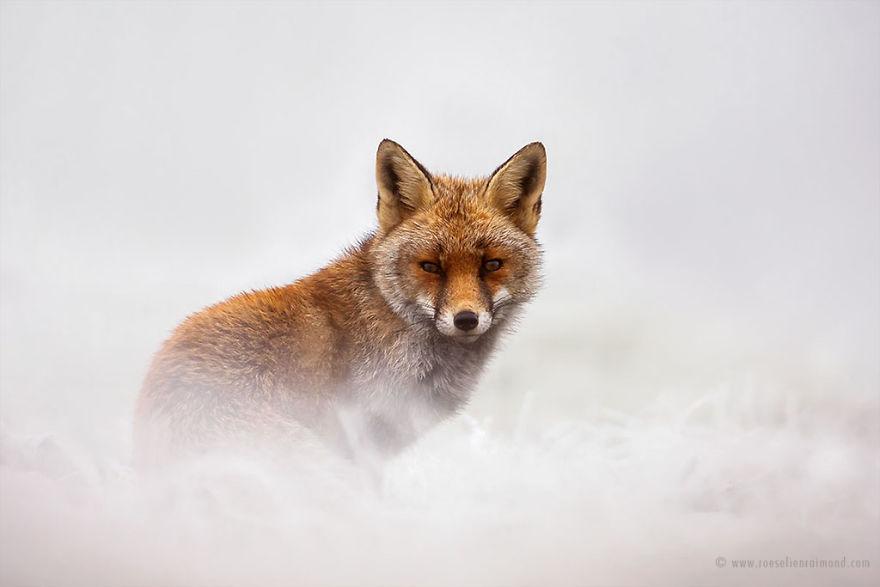 X1B7223_red_fox_snow-5a3271c4a13c3__880