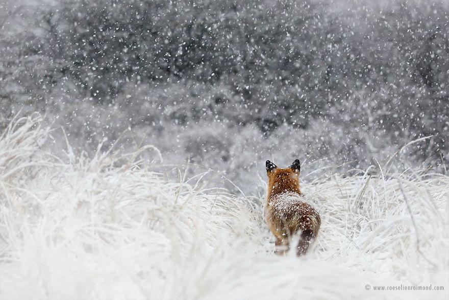 X1B8423_fox_blizzard-5a3271c68e96b__880