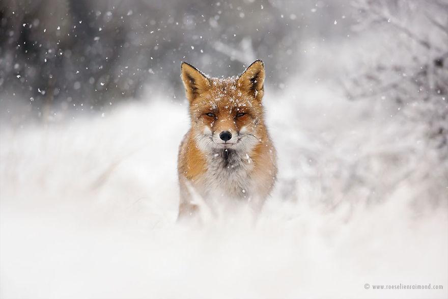 X1B8648_fox_portrait_snow-5a3271c867a63__880