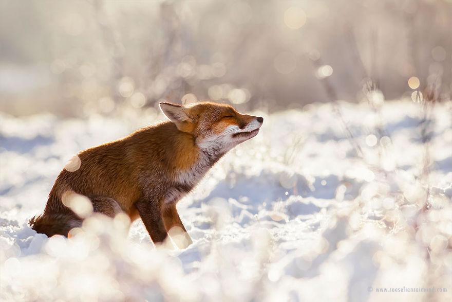 X1B8902_zen_fox_snow2-5a3271ca7ab9b__880