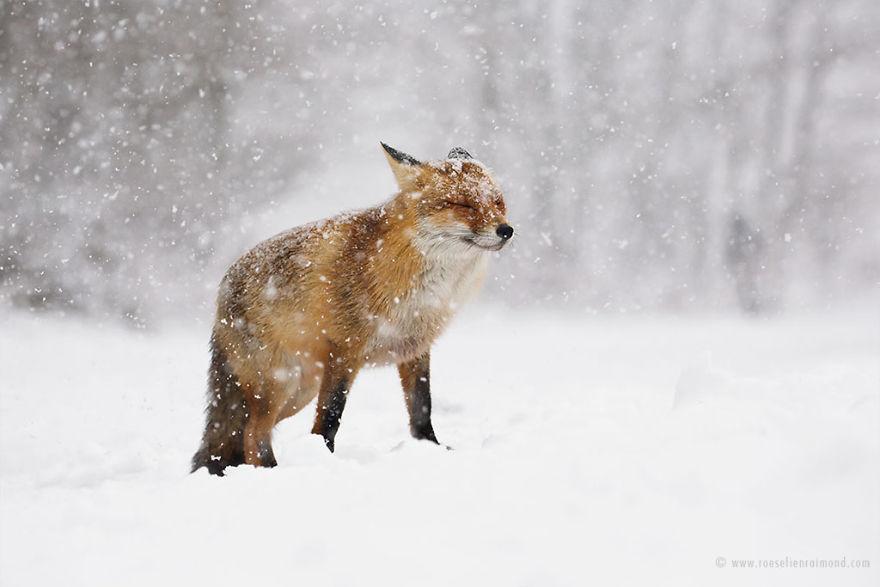 X1B9000_red_fox_white_out-5a3271cc7e395__880