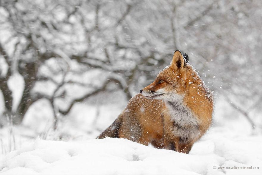 X1B9224_red_fox_winter-5a3271cf7bccd__880