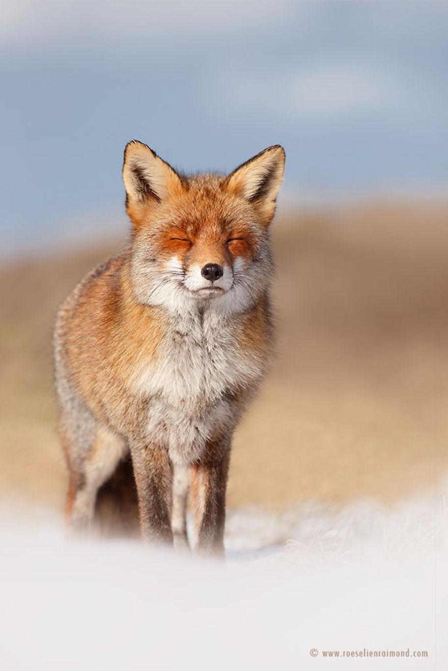 X1B9505_happy_fox_snow-5a3271d176519__880