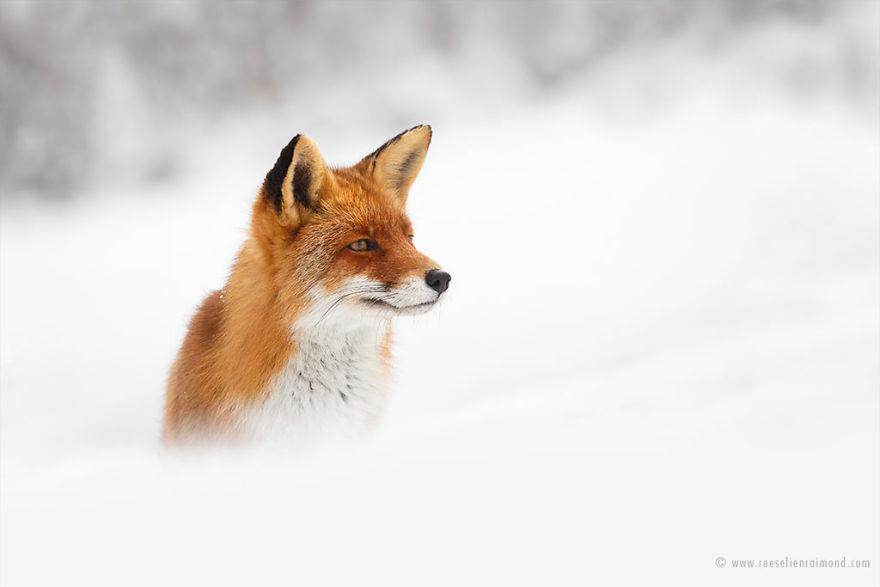 X1B9579_fox_snow-5a3271d34e20c__880