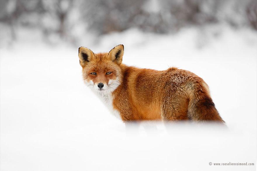 X1B9635_red_fox_snow-5a3271d57cb63__880
