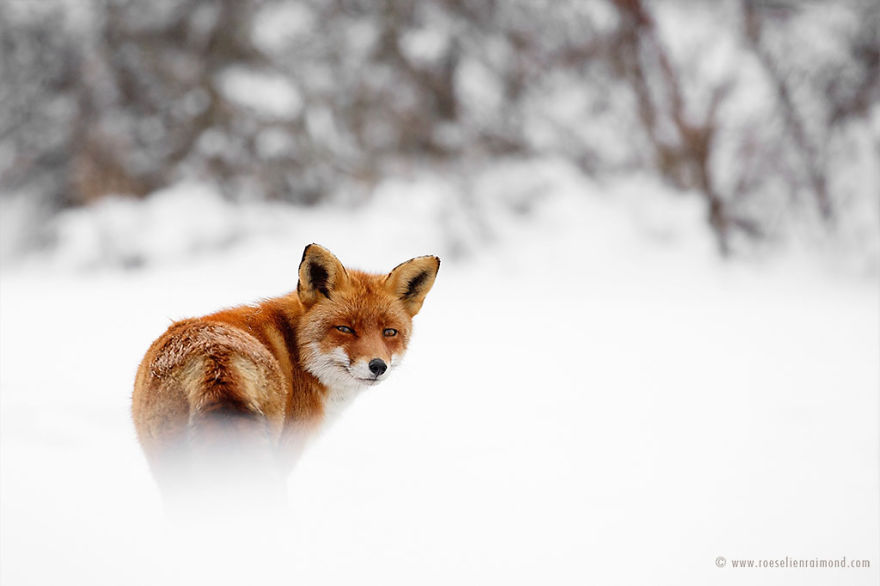 X1B9691_fox_in_the_snow-5a3271d75a6a2__880