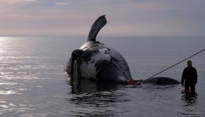 baleine-noire-morte-2