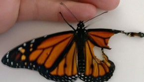 monarch-butterfly-wing-transplantation-9-5a57135d35fbd__700