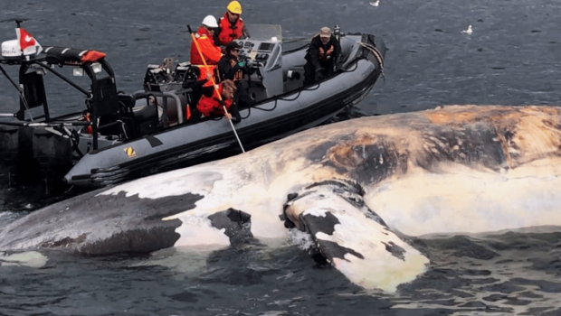 peche-baleines-noires-atlantique