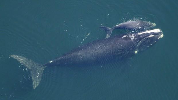 baleine-noire-atlantique-noire-femelle-bebe-baleineau