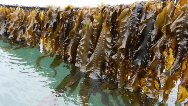 algues-laminaires