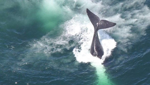 baleine-noire-atlantique-nord-noaa