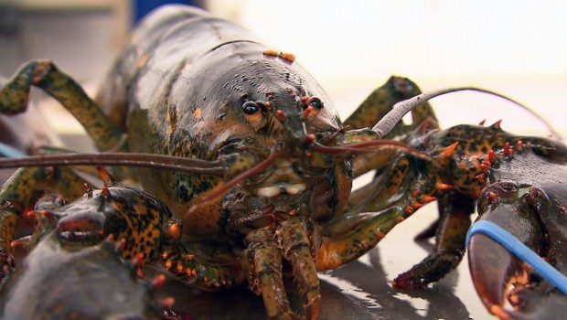 lepicerie-homard